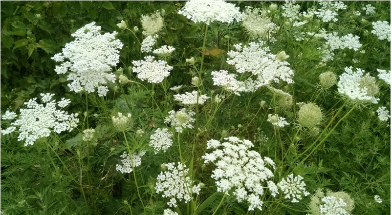 Queen Anne's Lace Magical Properties and Uses — Magical Herbs