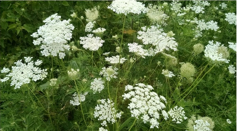 Queen Annes Lace - Queen Anne Lace Magical Properties - Elune Blue (800x445)