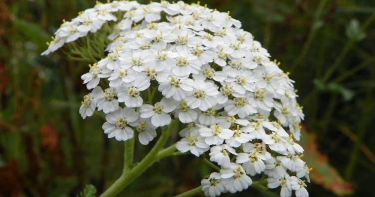 The Companion Herb: Yarrow Magical Properties and Uses — Magical Herbs