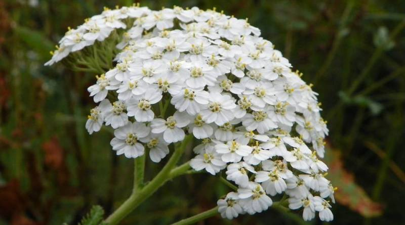 Yarrow - Yarrow Magical Properties - Elune Blue