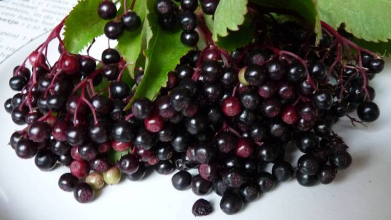 Elderberry is a fruit of opposites.  It has been used for protection from evil, as well as to summon evil in.  An elderberry tree's roots are shallow, yet the plant is strong and robust. -- Elderberry Magical Properties