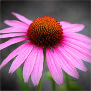 Echinacea Flower Plant - Echinacea Magical Properties - Elune Blue (300x300)