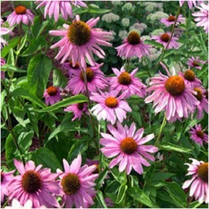 Echinacea Purple Coneflower Seeds from Outsidepride