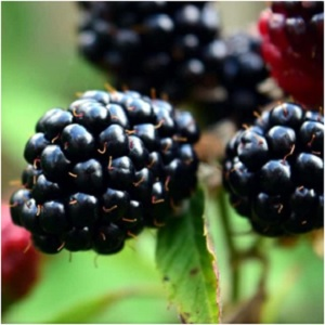 Blackberry is associated with Brigit, the Celtic goddess of poetry and healing who is honored on Imbolc. Blackberry is a powerful healing plant, and it is believed that passing under a blackberry bramble bush that forms a natural arch can heal all sorts of maladies. -- Blackberry Magical Properties and Uses | Herbs for Imbolc