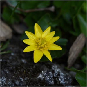 Celandine's power is to break chains. It can free the mind of depressive mindsets and its protective power visits in the courtroom, providing an avenue by which judge and jury may be inspired to change their minds and grant a more favorable judgment. -- Celandine Magical Properties and Uses   Herbs for Imbolc