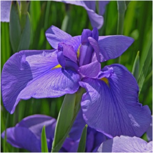 Considered a birth flower of February, Iris shares a name with the goddess of rainbows and new beginnings. Iris flower and orris root both can be used in rituals for purification. Place fresh iris flowers in an area you wish to usher in vibrant, cleansing energy. -- Iris Magical Properties and Uses #Imbolc