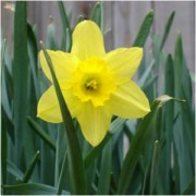 The Spring's Trumpet: Daffodil Magical Properties and Uses -- Magical Herbs