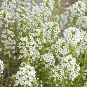 The Breath of Innocence: Baby's Breath Magical Properties and Uses -- Magical Herbs