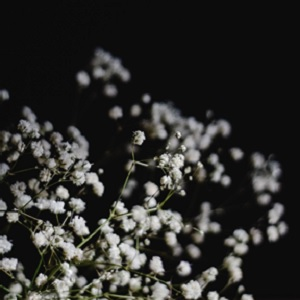 Baby's Breath flowers against a black background.
