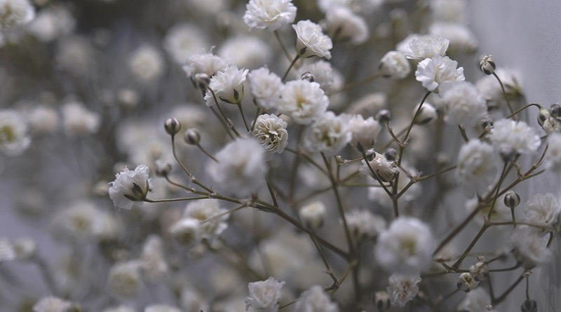 White Baby's Breath flowers. • The Meaning of Baby's Breath Flowers