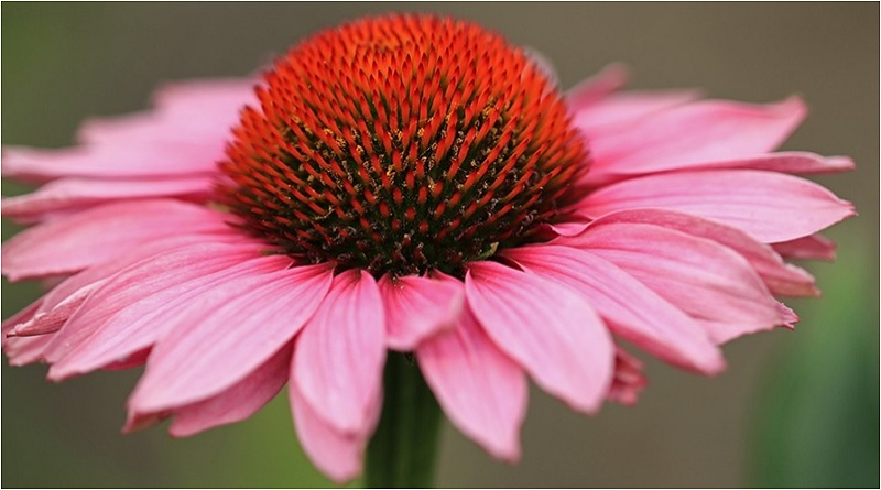 Echinacea is also known as Pink Shimmer and tends to grow in dry prairies and wooded areas, typically found in the central and northern parts of America. | Caring for Daisies