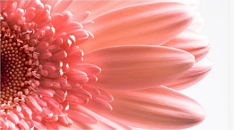 Gerbera daisies can be grown both indoors and outdoors. Plant them in a place where they have access to morning light, which is less acute than the afternoon sun. Try to avoid planting Gerbera daisies in the shade as they will bloom less flowers. | Caring for Daisies