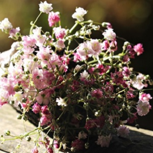 A bouquet of Pink Baby's Breath Flowers