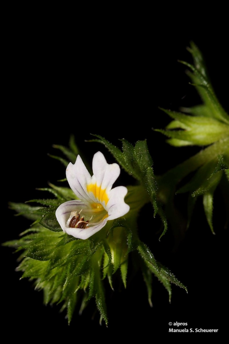 An eyebright herb on a black background.