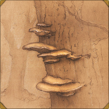 Bracket Fungus Illustration