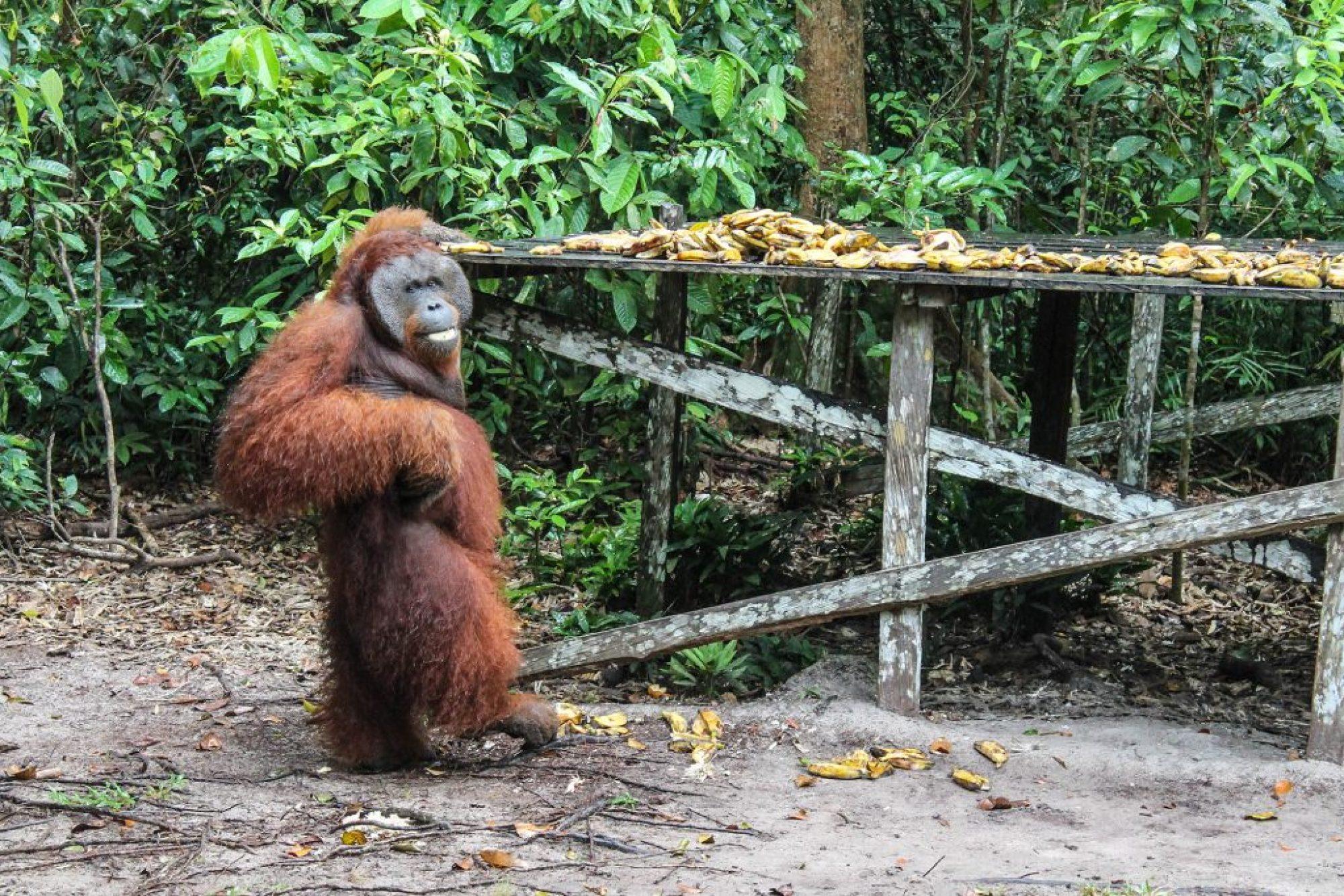 orangutanes-en-borneo-12