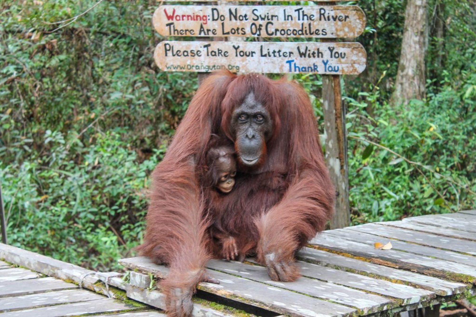 orangutanes-en-borneo-34