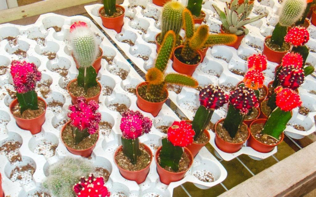 cactus cameron highland