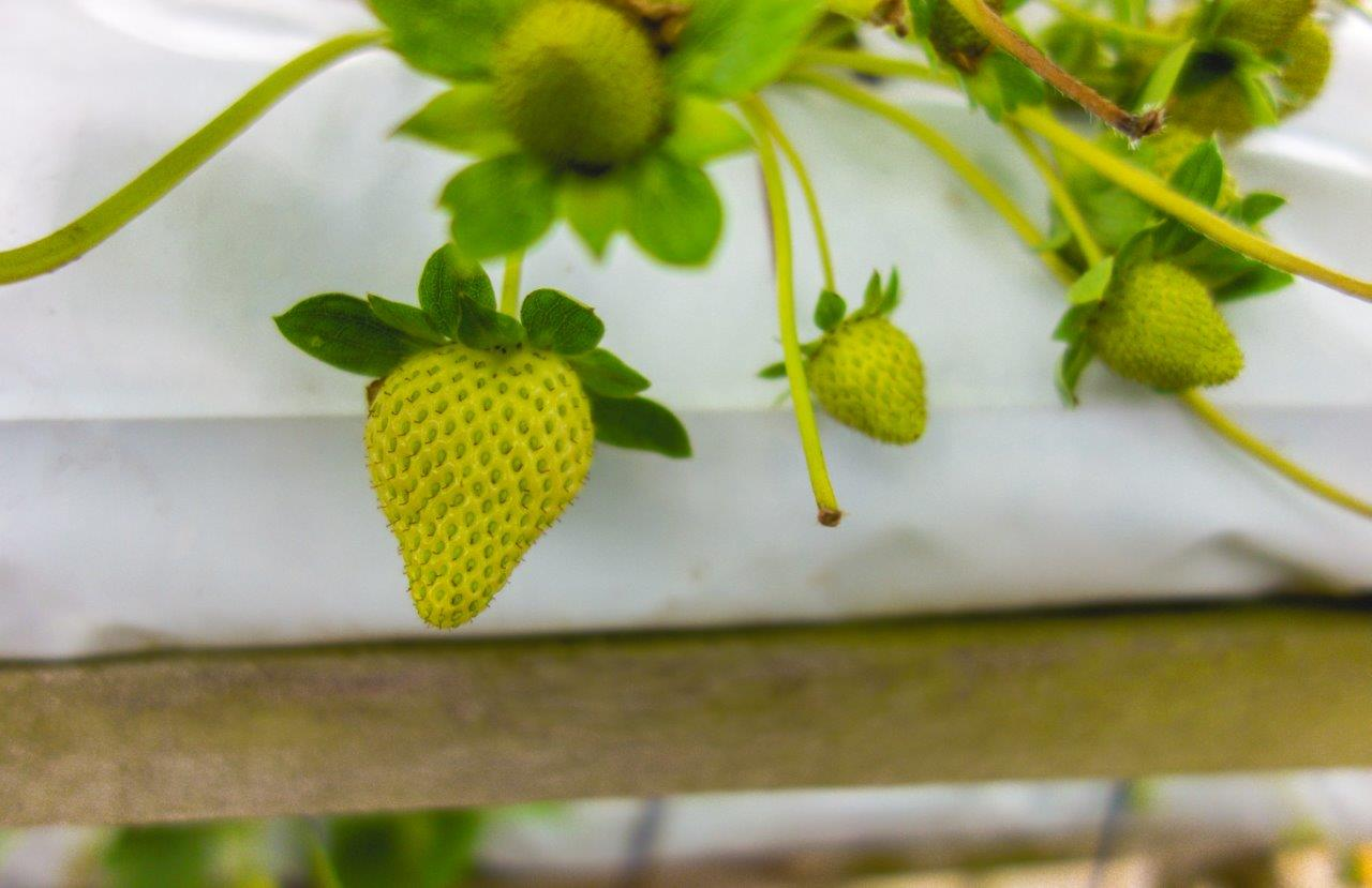 strawberry cameron highland park