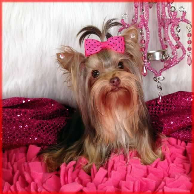 Sweet Girl Picture Wallpaper Yorkies For Sale Buy Teacup Chocolate Yorkie Puppy Sassy