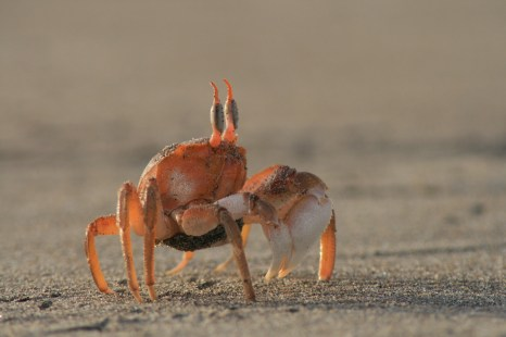 Peru krabis