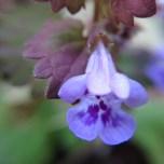 purple weed flower a.k.a. Henbit (Lamium amplexicaule)