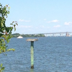 Osprey and Chesapeake Bay Bridge