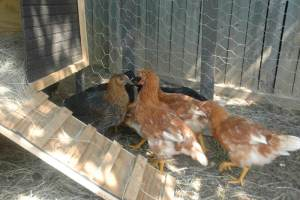 Backyard Chickens. Credit: AgriLife Today, FlickrCC