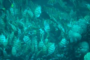 forage fish, credit: Ryan Oelke, FlickrCC