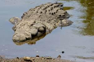 Crocodile DNA, Credit: Bernard DUPONT, FlickrCC