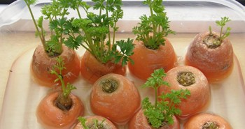 cenoura replantar