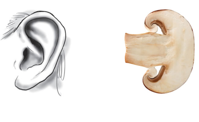 cogumelos ouvidos