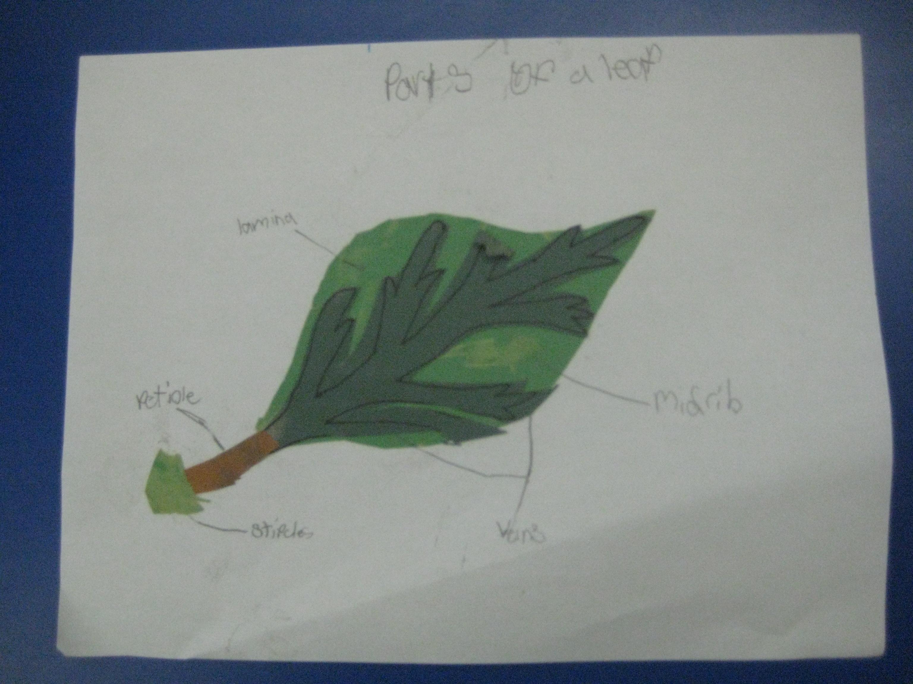 Montessori Parts Of A Leaf Extension Emanate80
