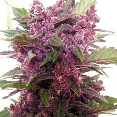 purple-haze-seeds5-390x390