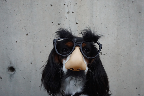 a cocker spaniel wearing a fake nose and glasses