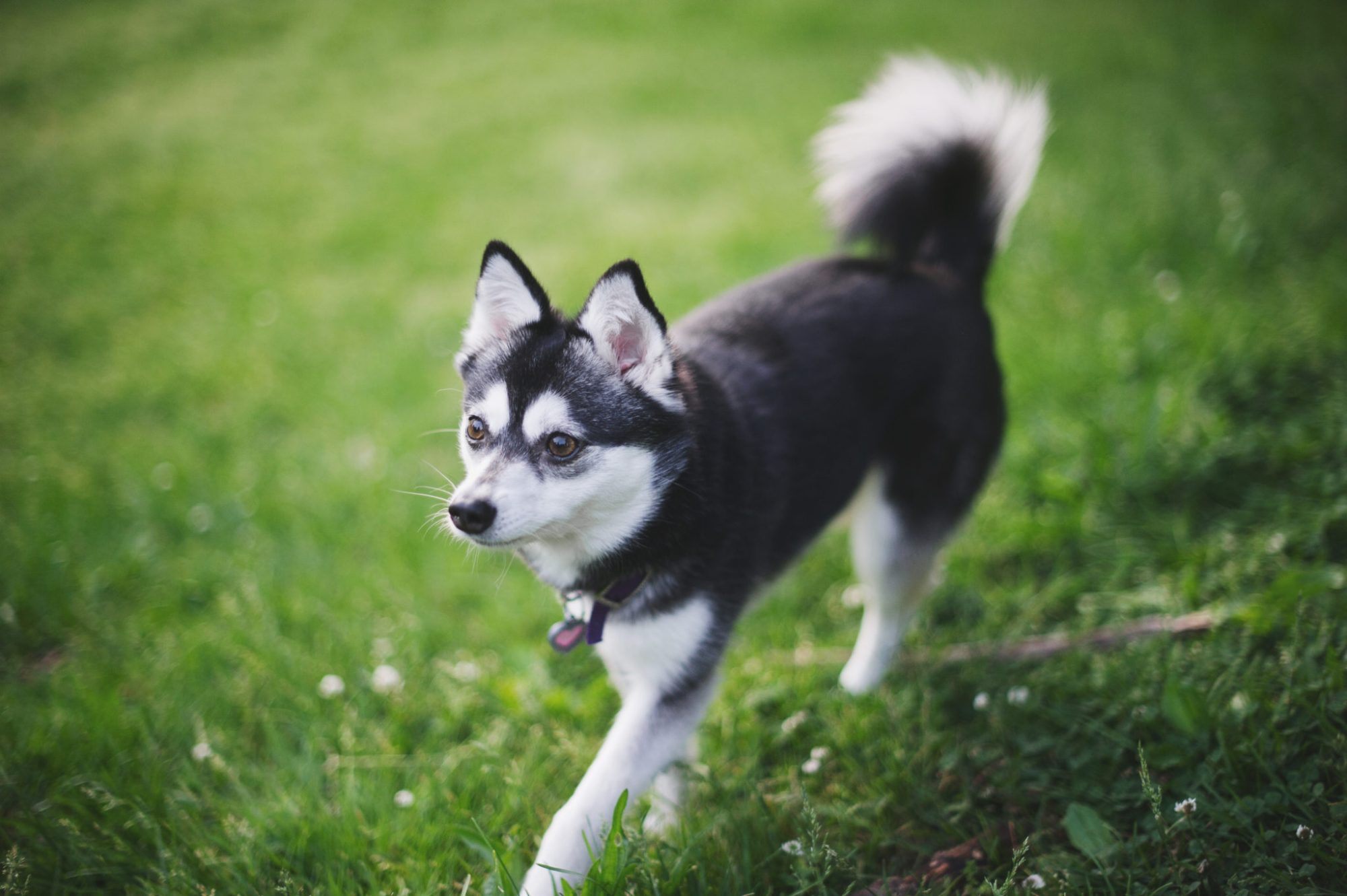 hight resolution of alaskan klee kai