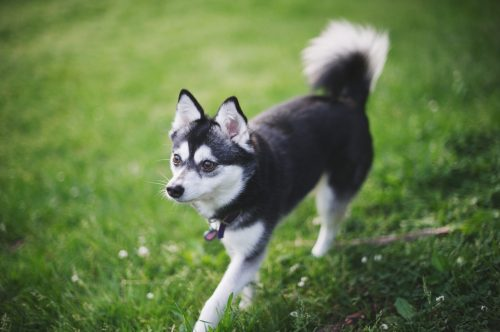 small resolution of alaskan klee kai