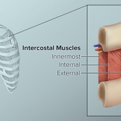 Diagram Of Rib Cage And Muscles Emerson Motor Wiring Upper Back Pain From Intercostal Muscle Strain What Are The
