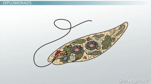 small resolution of protist bacteria virus venn diagram protist study guide term paper service