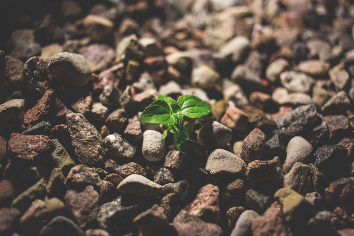 plant growing amongst rocks