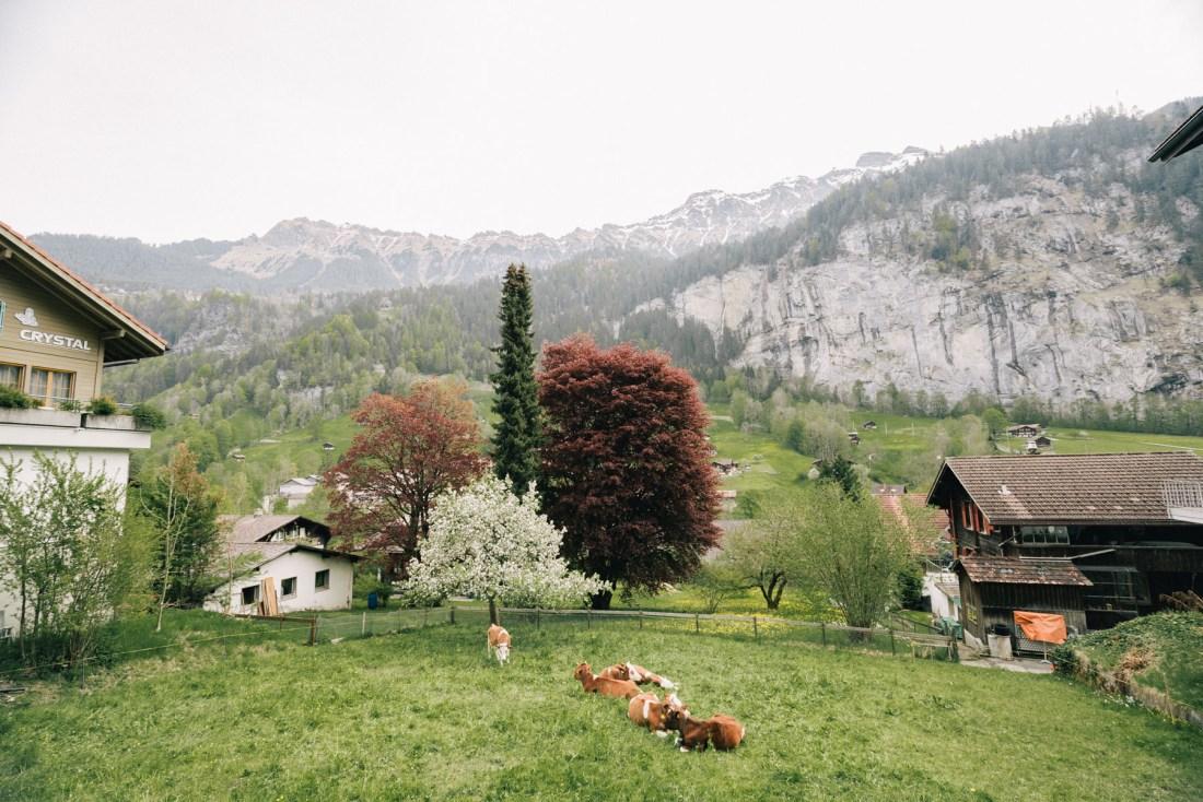 peaceful cows on field in Lauterbrunnen Switzerland