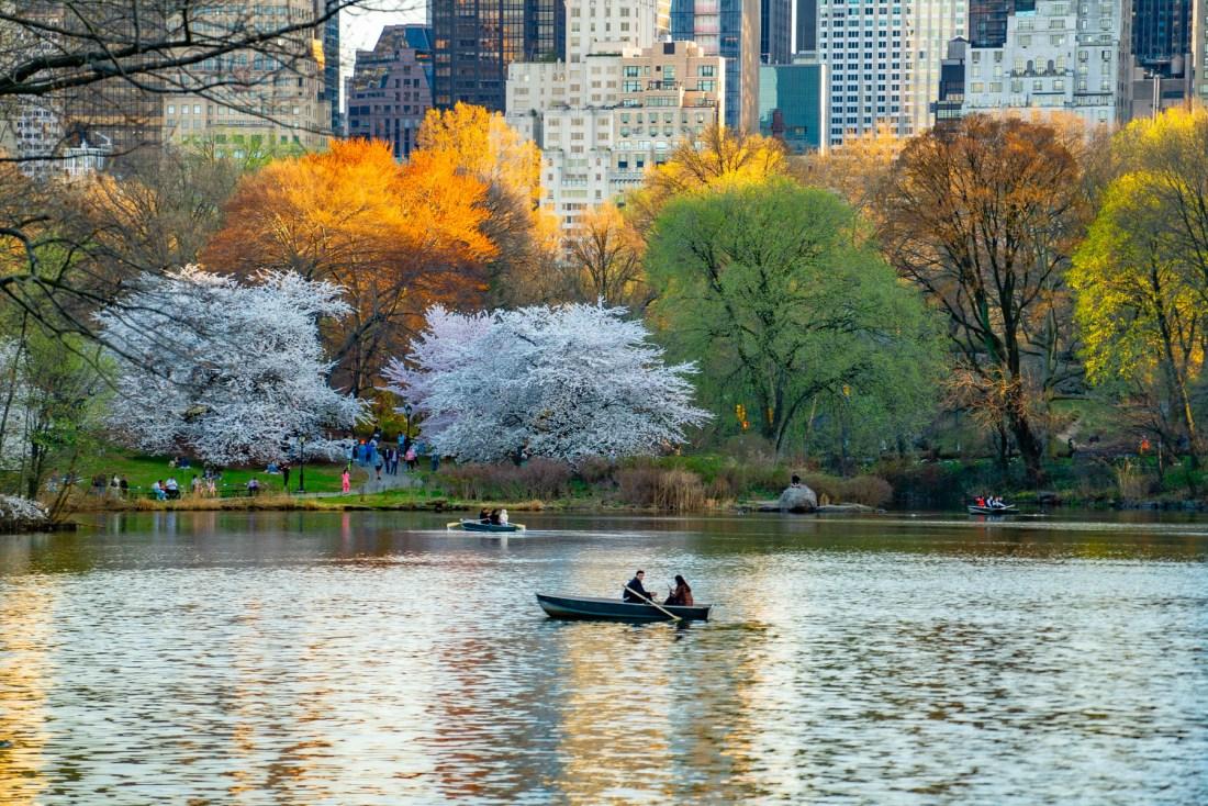 Central Park cherry blossoms