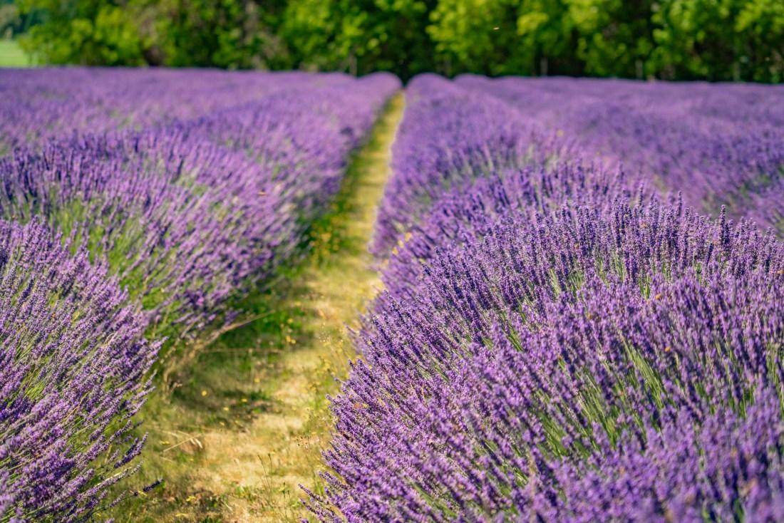 Cascade Lavender Farm Oregon