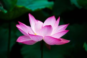lotus-simple-spirituality-truth-being-source-god-flower-zen