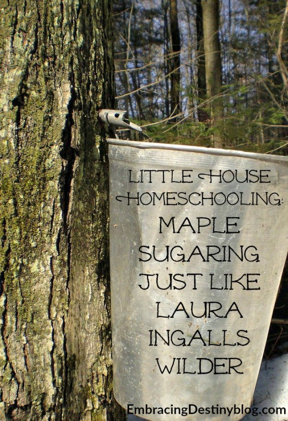 Maple Sugaring ~ hands-on history ~ Little House homeschooling making your own maple syrup just like Laura Ingalls Wilder with Tap My Trees maple sugaring kit. embracingdestinyblog.com