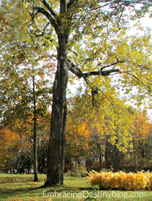 maple tree for maple sugaring