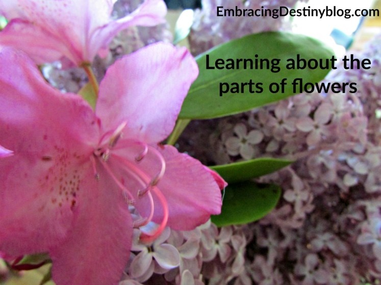 Learning about the parts of flowers with Christian Kids Explore Biology