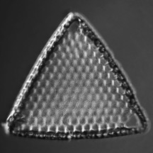 Triceratium favus