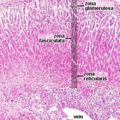 Integumentary System Diagram Labeled Portable Generator Manual Transfer Switch Wiring File:adrenal Histology 002.jpg - Embryology