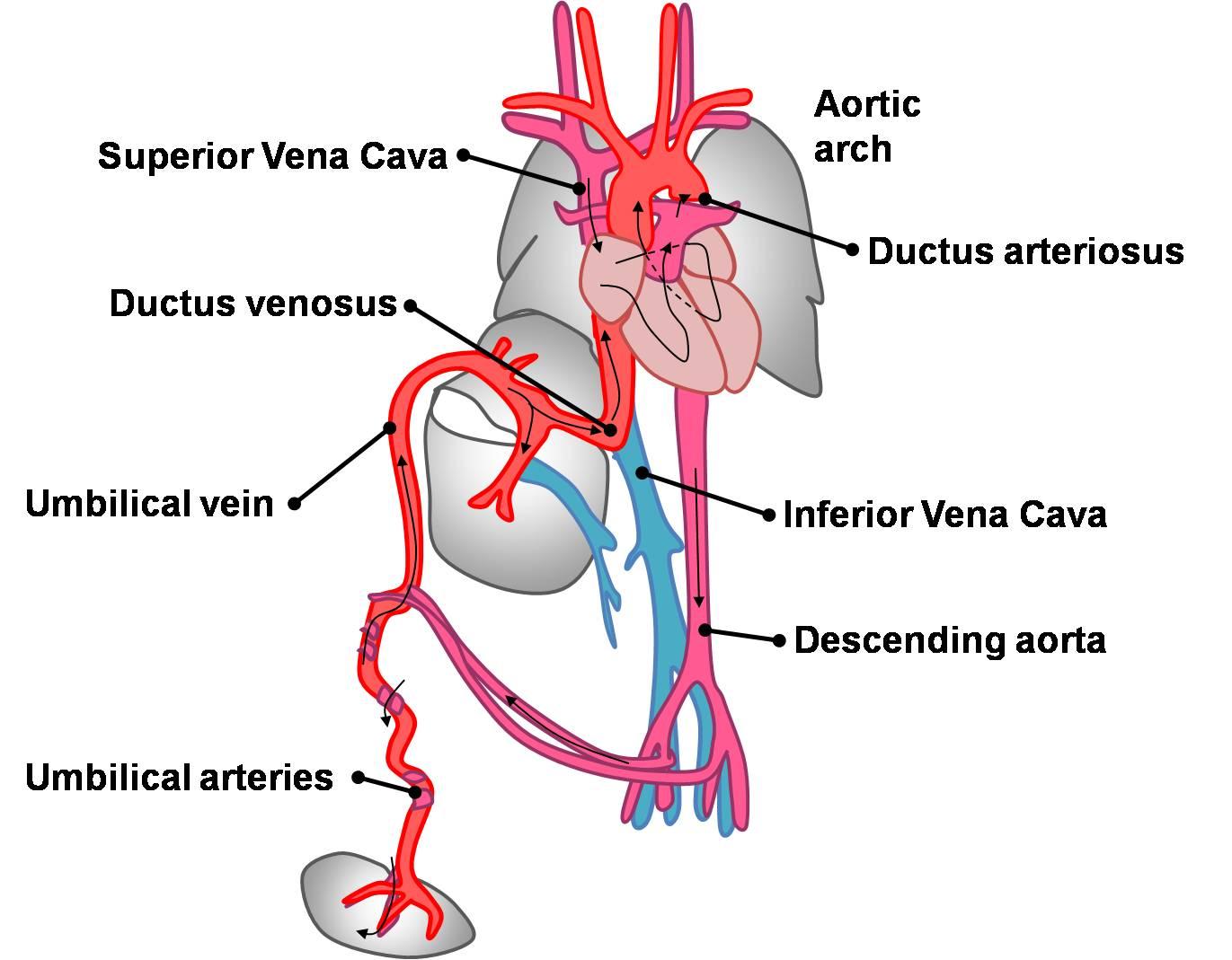 hight resolution of file fetal circulation pathway jpg
